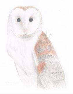 Barn Owl by Ken Kitson